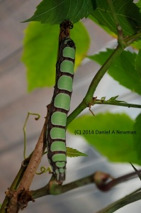 Abbotts sphinx caterpillar